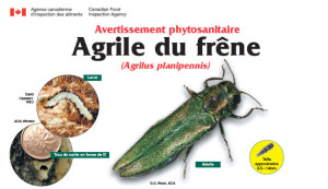 Agrile-du-frene_photo