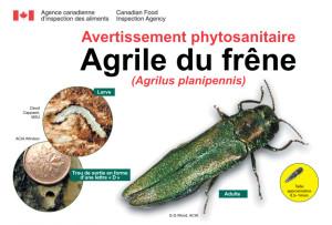 En cliquant sur l'image, vous accéderez à de plus amples informations concernant l'agrile du frêne sur le site de l'Agence canadienne d'inspection des aliments.